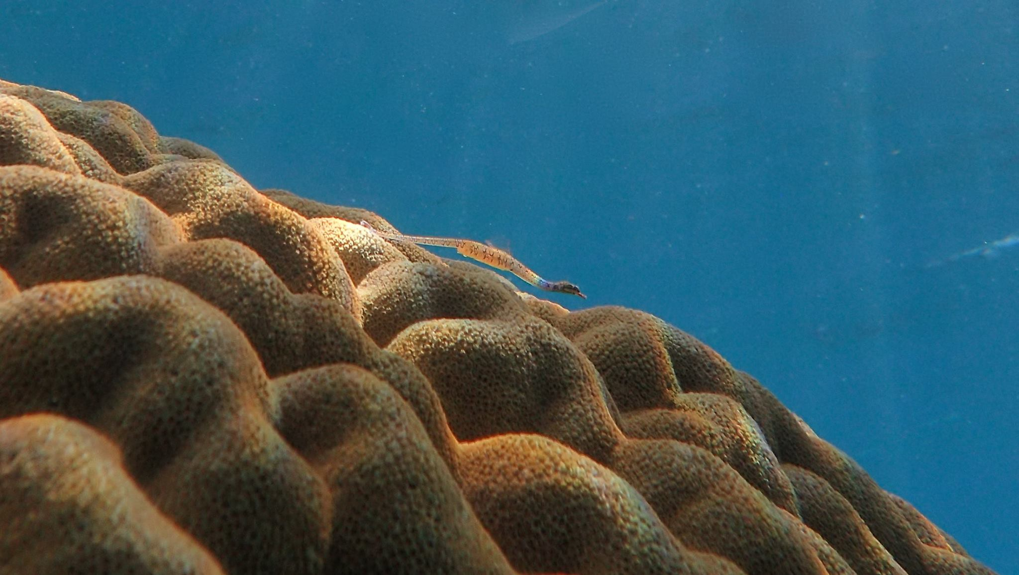 Tiny pipe fish on brain coral