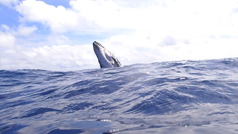 Breaching humpback calf