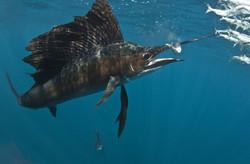 Sailfish striking its prey