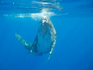 Swim with a humpback whale calf, Kingdom of Tonga