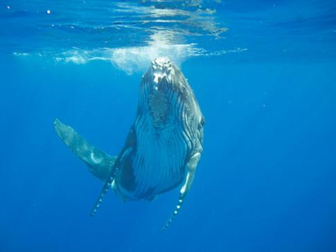 Swim with a humpback whale calf, Kingdom of Tonga
