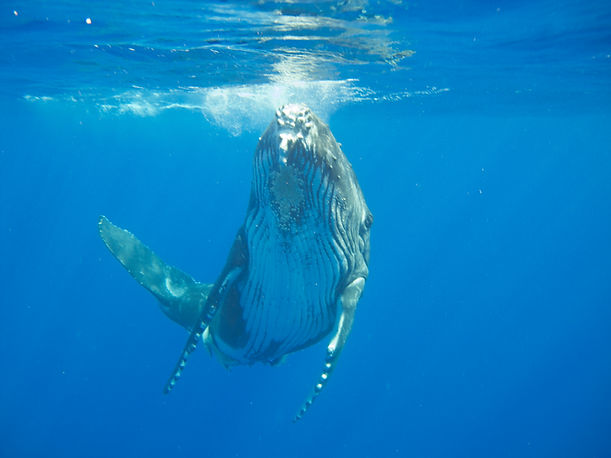 Swimming with humpback whale calf from the Beach House, Tonga