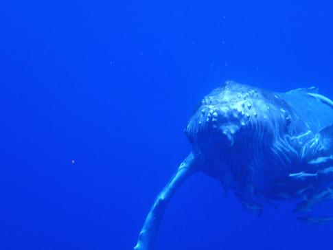Swim with a humpback whale calf, Vava'u, tonga