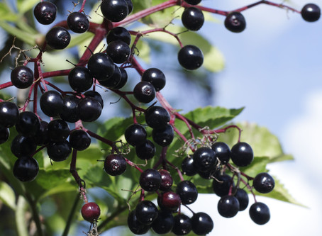 Benefits of Elderberries (w/ a recipe)