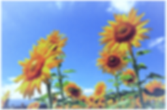 ひまわり_edited.png