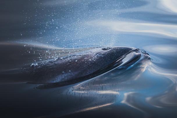 Arctic Dolphin (Kvitnos)