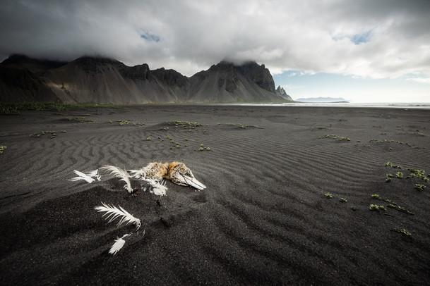 Sea Gannet