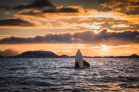 Rising Orca