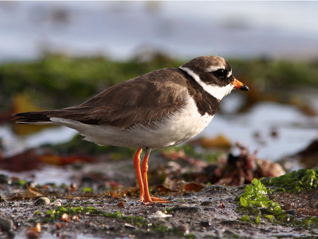 Meet Our Mascot Bird, the Common Ringed Plover (Charadrius hiaticula)