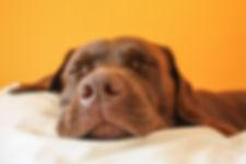 Brown dog dreaming.jpg