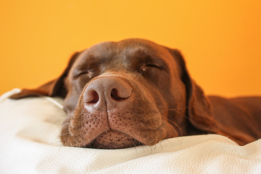 Brown dog dreaming.jpg