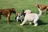 group of dogs playing outdoors.jpg