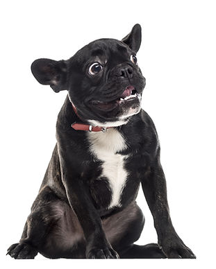 Scared dumb French Bulldog sitting and m