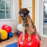 picture of a Leonberger who stands on a