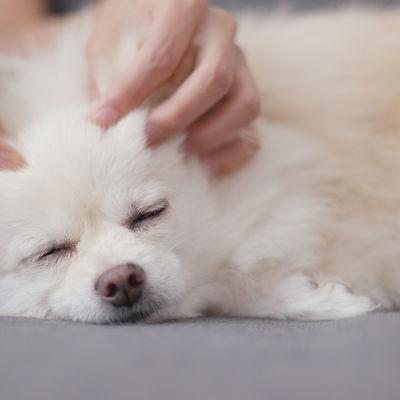 Pet owner massage on white dog .jpg
