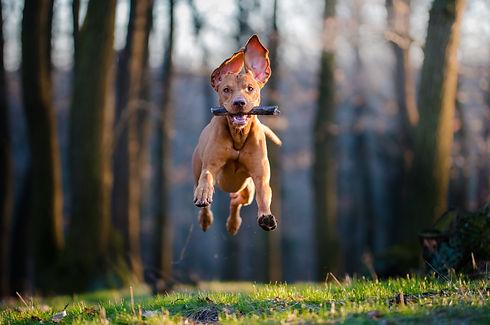 Flying Hungarian pointer hound dog.jpg