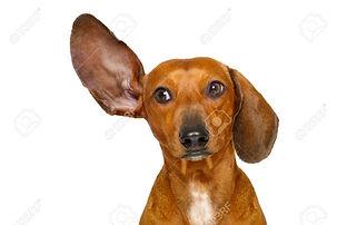 74226113-teckel-ou-chien-saucisse-écoute