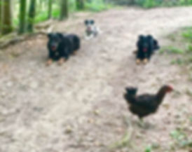 éducation canine auto contrôle travail distraction chien obéissant chien de chasse