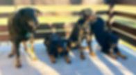 chien heureux, chien éduqué, chien équilibré, beauceron, suisse éduquer un bauceron, berger de beauce, bas rouge, dog dancing, dressage, clicker training, obéissance, sport plaisir, cours, formation, séminaire éducateur canin, école, chien, canin, club,