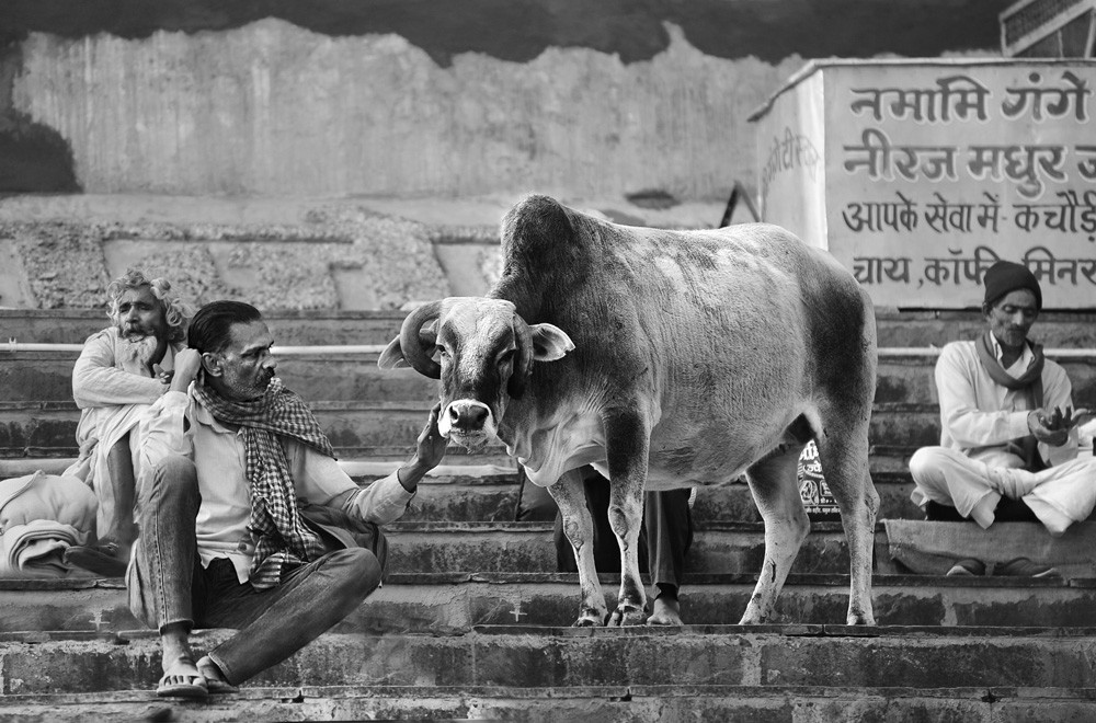 The man and the cow