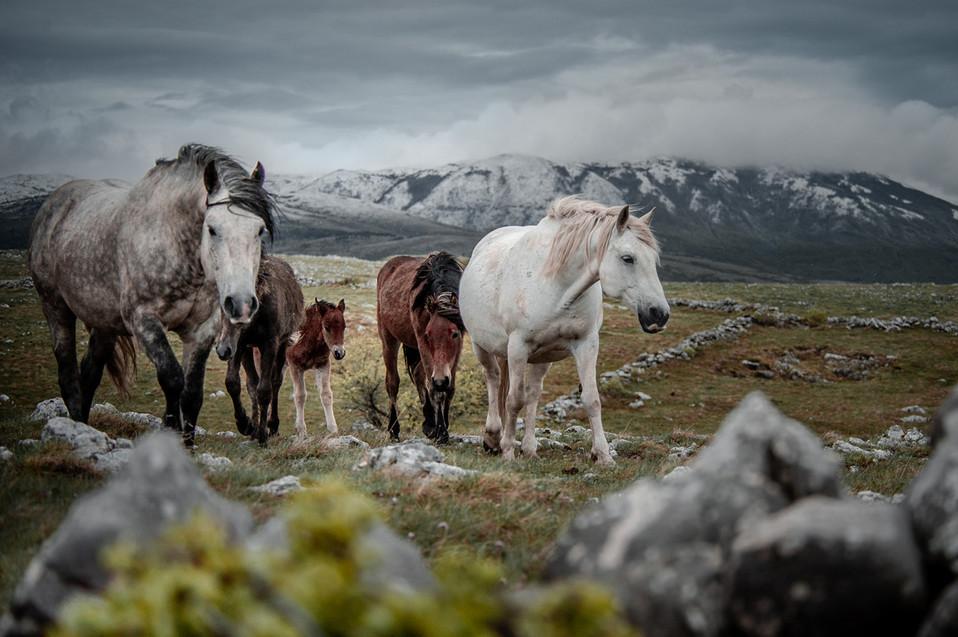 Fotoreise Bosnische Wildpferde17.jpg