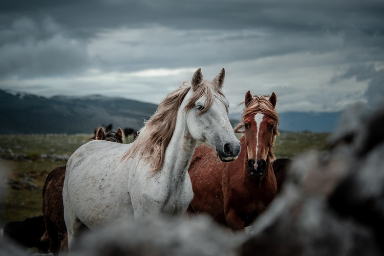 Fotoreise Bosnische Wildpferde4.jpg