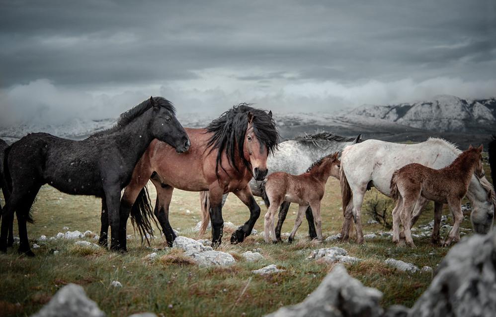 Fotoreise Bosnische Wildpferde16.jpg