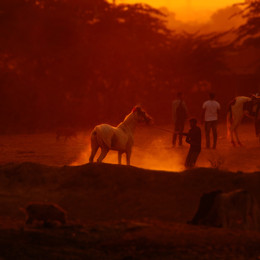 Pferde in Sonnenuntergang im indischen Pushkar - Fotografin Runa Lindberg
