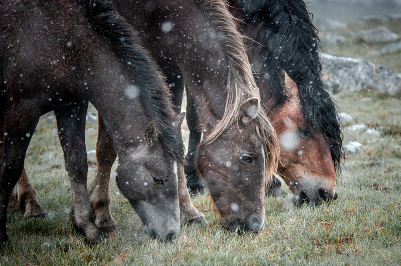 Fotoreise Bosnische Wildpferde11.jpg