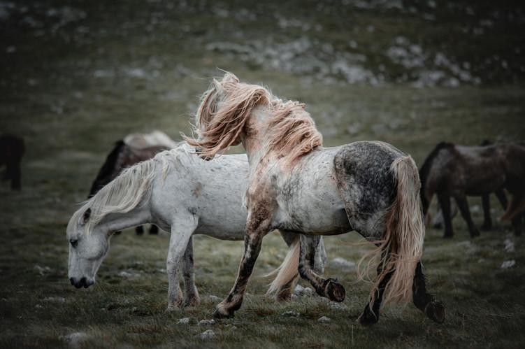 Fotoreise Bosnische Wildpferde9.jpg