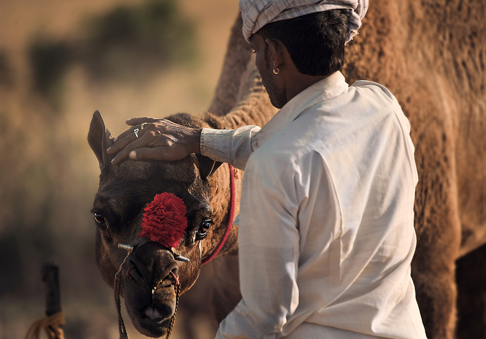 Camel Ground, Pushkar Mela, Rajasthan - India. Picture by Runa Lindberg.
