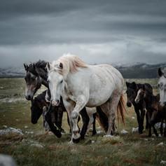 Wild Horses in Bosnia