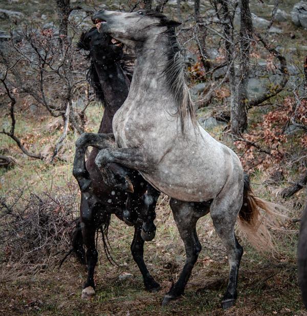 Fotoreise Bosnische Wildpferde15.jpg