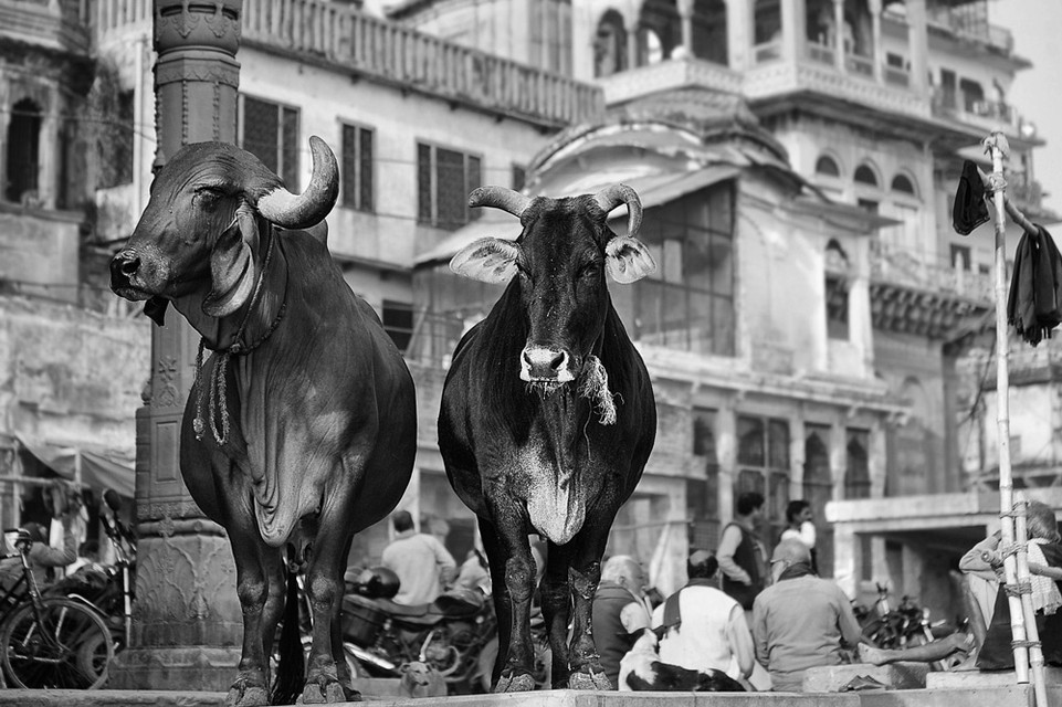 Two curious cows in Varanasi
