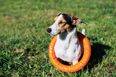 adorable-dog-with-toy-on-grass-ZJW3297.j