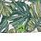 Thumbnail: Hiolani - Green Monstera