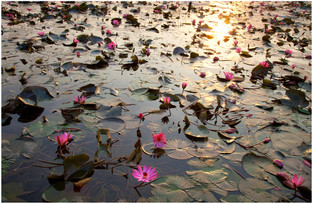 lillies-w.jpg