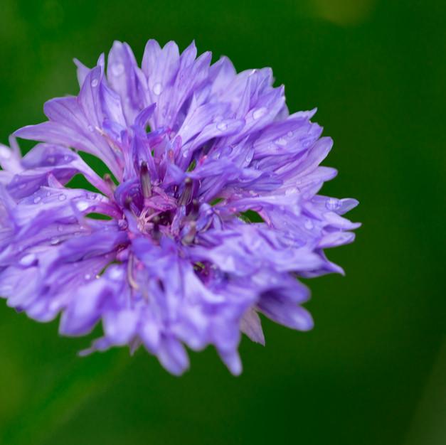 Purple ii