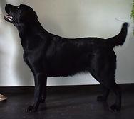 čierny labrador Bratislava