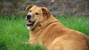 Obezita? U psů vážný problém!
