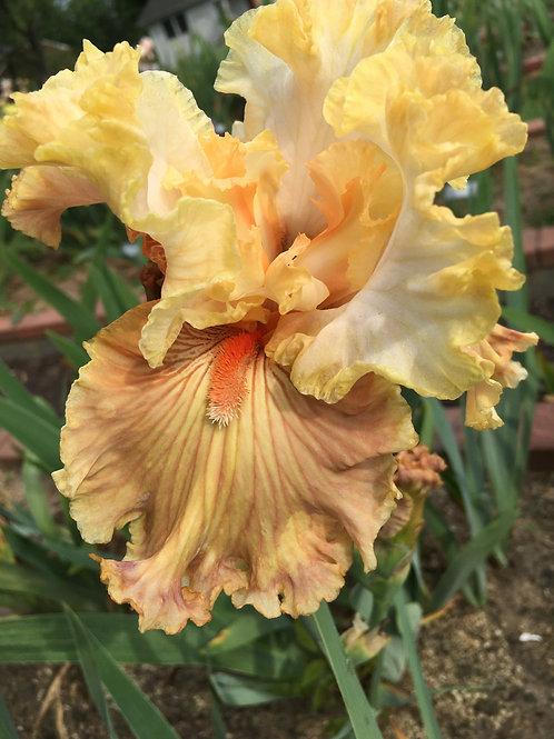 Australian Rose