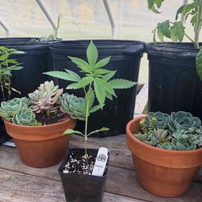 LeafWorks Plant Gender ID Test eliminates the hassle!