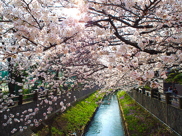 真間川の桜 満開!