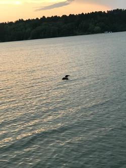 Loon and Sunset
