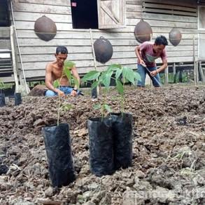 Tiga Suku Dampingan YCMM Membuat Tanaman Pekarangan Rumah