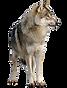 saarloos-wolfdog-czechoslovakian-wolfdog