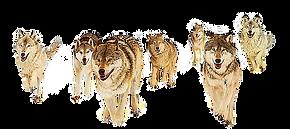 gray-wolf-fox-information-teamwork-colla