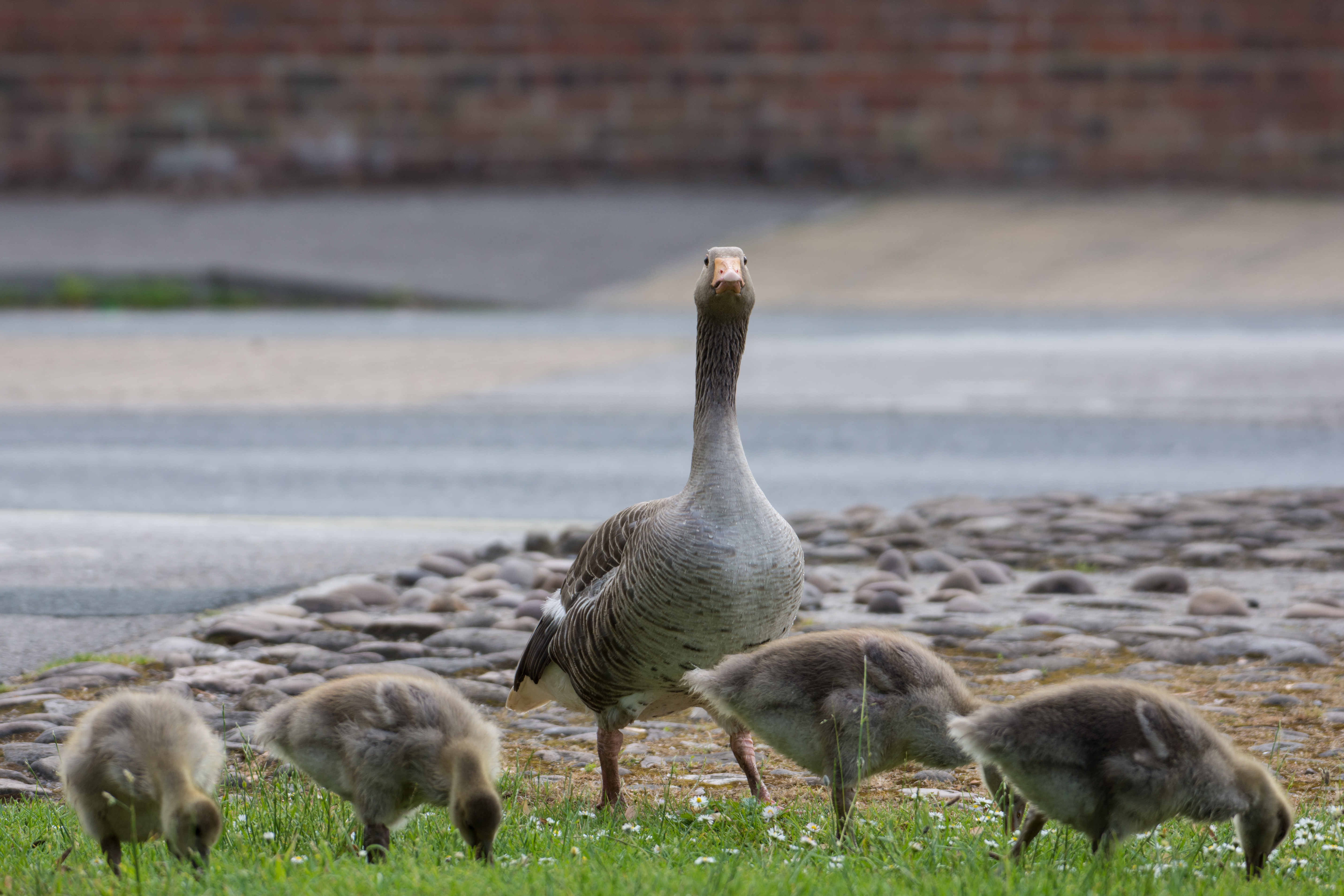 DAVID_JEFFERY York, Geese and Goslings 03.06.18 0003