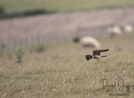 Red-Footed Falcon, a rarity on my doorstep!