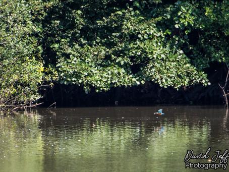 The Elusive Kingfisher 25.08.19